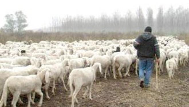 A Trino un gregge di pecore si mangia un campo di mais
