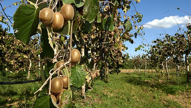 """Indagine della Procura in una trentina di aziende agricole per l'utilizzo sui kiwi di un fitofarmaco """"non autorizzato"""""""